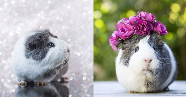 fancy photography photogenic instagram cute guinea pig - 955397