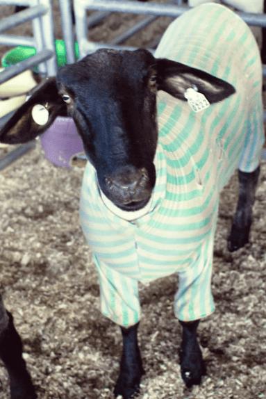 Goats - 0222