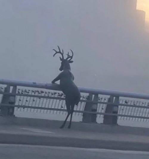 Reindeer - 75 1