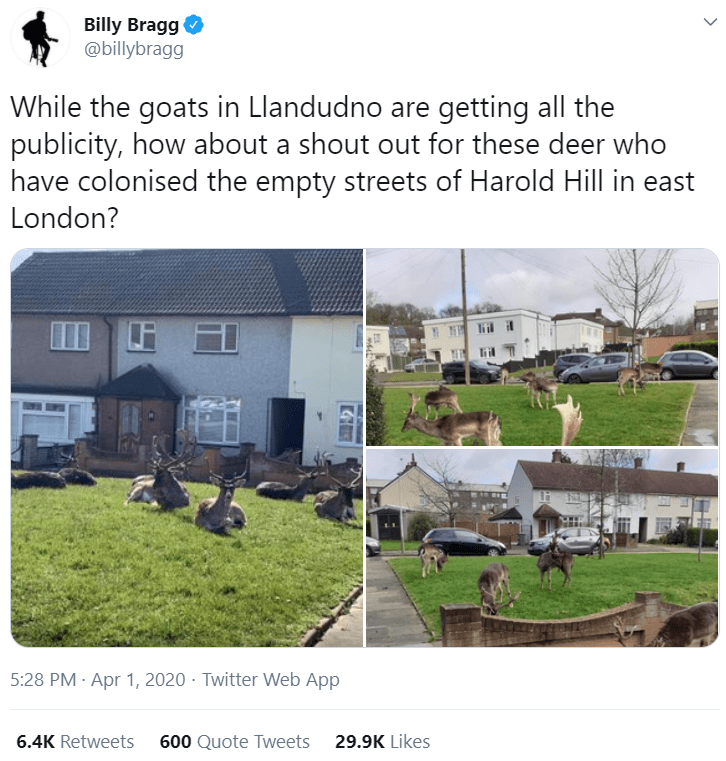 Property - Billy Bragg @billybragg While the goats in Llandudno are getting all the publicity, how about a shout out for these deer who have colonised the empty streets of Harold Hill in east London? E 日 5:28 PM · Apr 1, 2020 · Twitter Web App 6.4K Retweets 600 Quote Tweets 29.9K Likes >