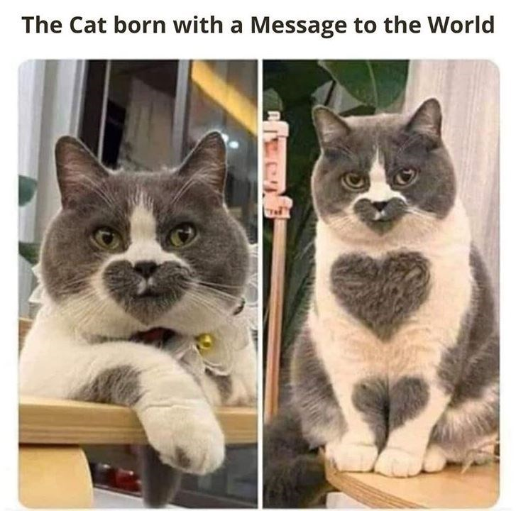 The Cat born with a Message to the World adorable cute grey and white cat with heart shaped markings