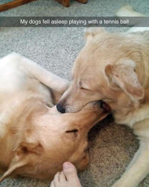 Dog breed - My dogs fell asleep playing with a tennis ball