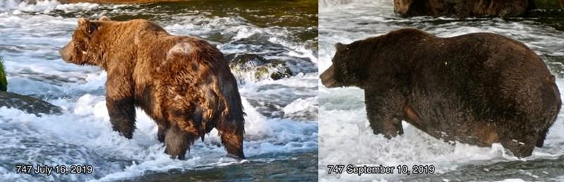 Brown bear - 747 July 16, 2019 747 September 10, 2019