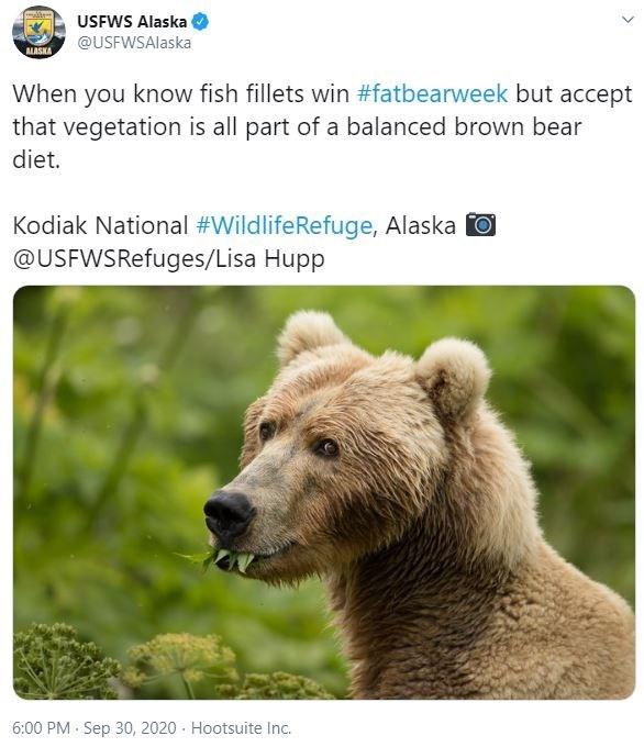 Vertebrate - USFWS Alaska @USFWSAlaska ALASKA When you know fish fillets win #fatbearweek but accept that vegetation is all part of a balanced brown bear diet. Kodiak National #WildlifeRefuge, Alaska O @USFWSRefuges/Lisa Hupp 6:00 PM - Sep 30, 2020 - Hootsuite Inc.