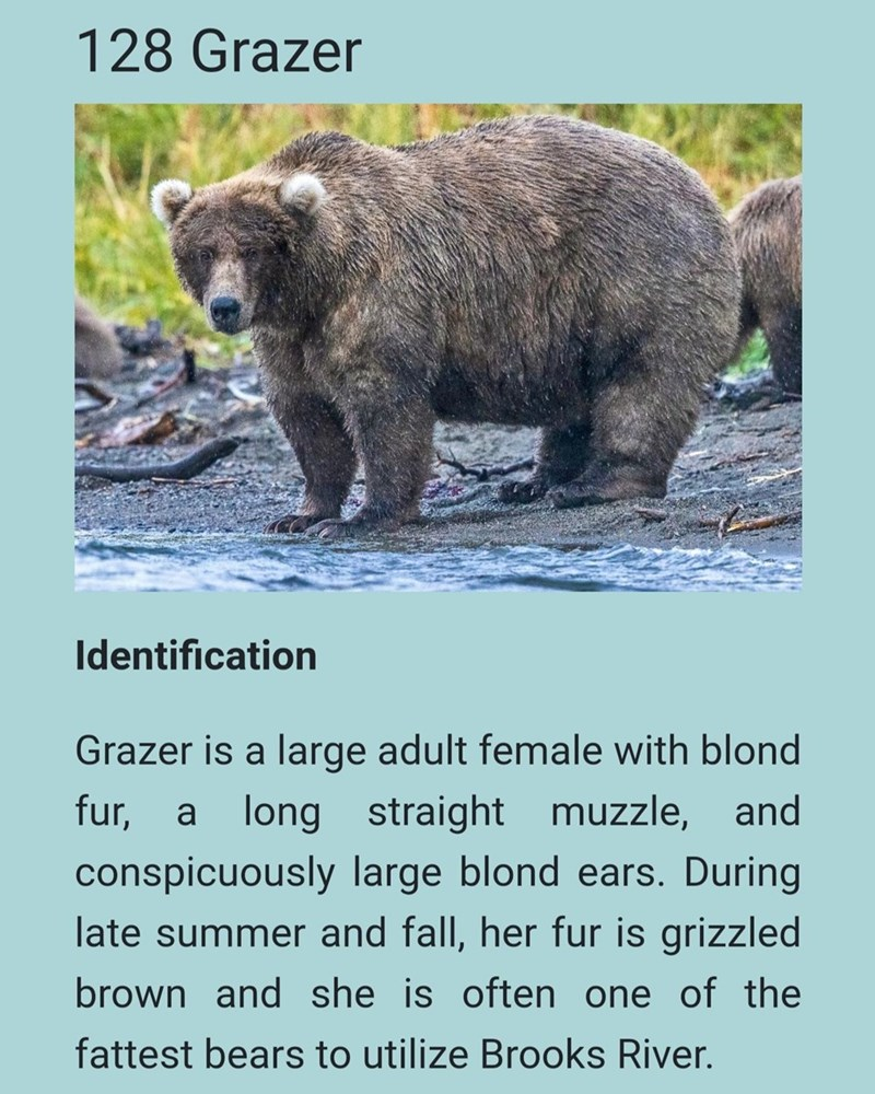 Brown bear - 128 Grazer Identification Grazer is a large adult female with blond fur, a long straight muzzle, and conspicuously large blond ears. During late summer and fall, her fur is grizzled brown and she is often one of the fattest bears to utilize Brooks River.