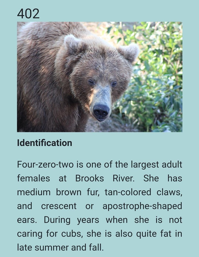 Brown bear - 402 Identification Four-zero-two is one of the largest adult females at Brooks River. She has medium brown fur, tan-colored claws, and crescent or apostrophe-shaped ears. During years when she is not caring for cubs, she is also quite fat in late summer and fall.