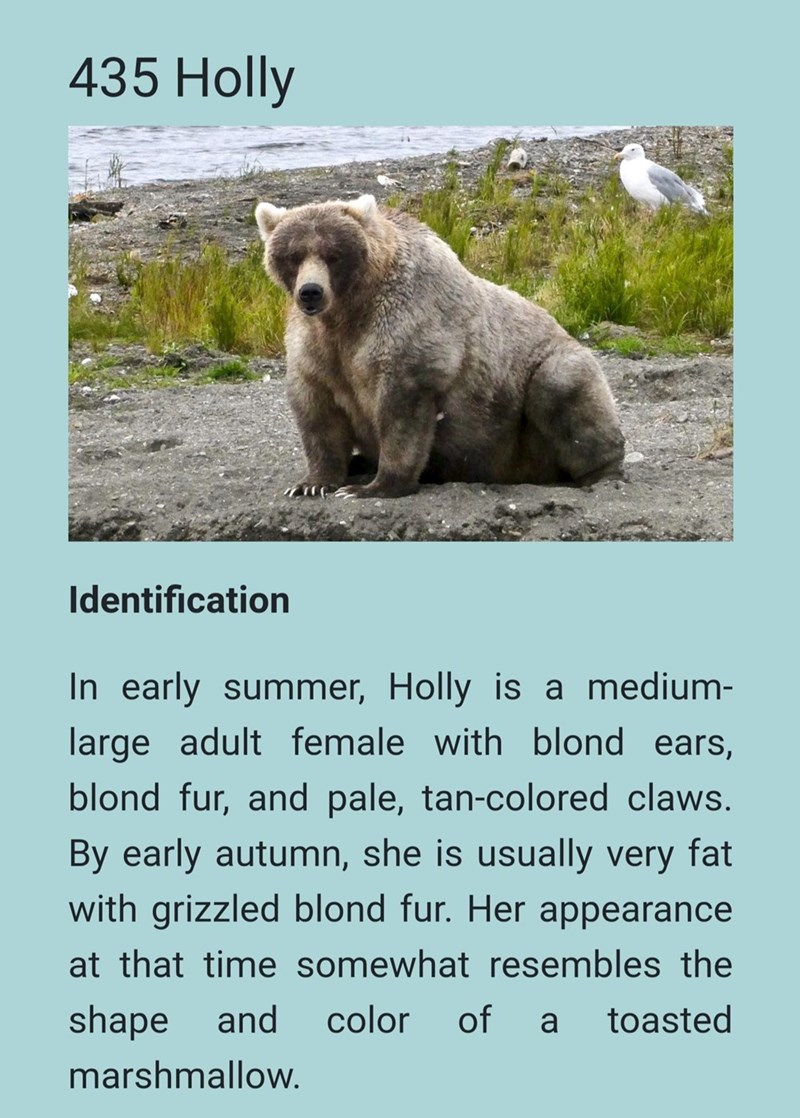 Mammal - 435 Holly Identification In early summer, Holly is a medium- large adult female with blond ears, blond fur, and pale, tan-colored claws. By early autumn, she is usually very fat with grizzled blond fur. Her appearance at that time somewhat resembles the shape and color of a toasted marshmallow.