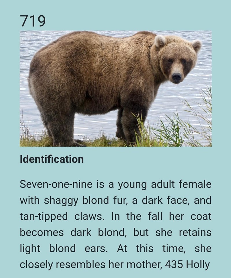 Brown bear - 719 Identification Seven-one-nine is a young adult female with shaggy blond fur, a dark face, and tan-tipped claws. In the fall her coat becomes dark blond, but she retains light blond ears. At this time, she closely resembles her mother, 435 Holly