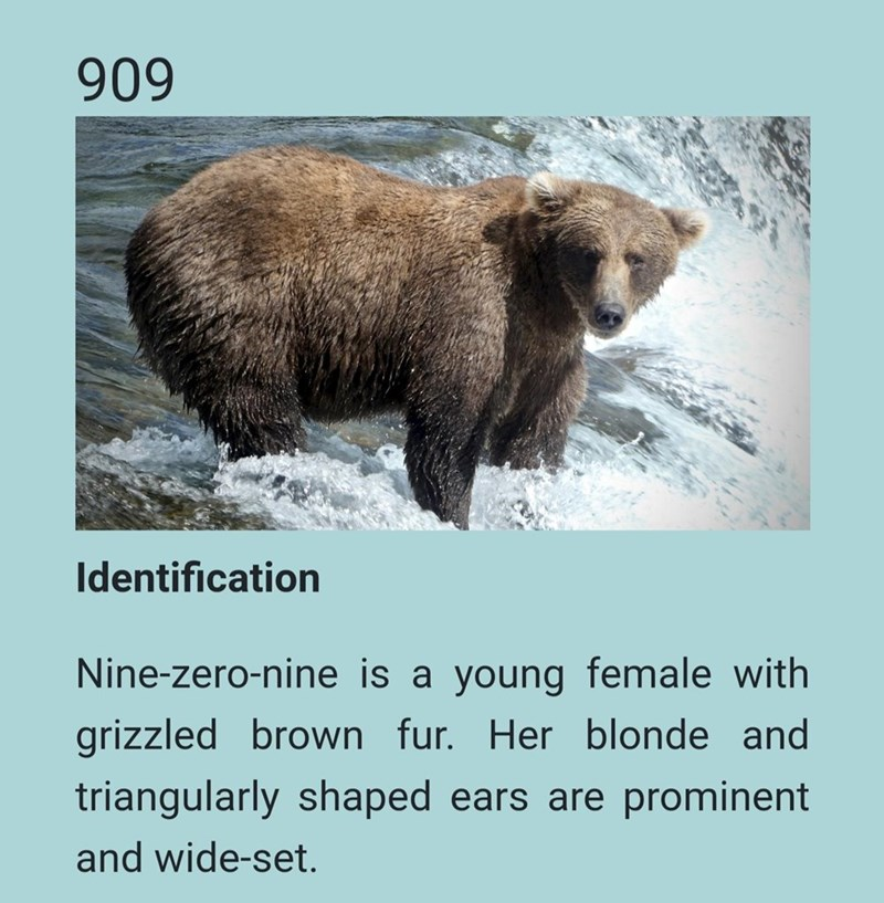 Brown bear - 909 Identification Nine-zero-nine is a young female with grizzled brown fur. Her blonde and triangularly shaped ears are prominent and wide-set.