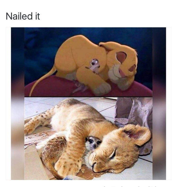 Nailed it disney irl the lion king simba cuddling timon to sleep and real life lion cub and meerkat snuggling sleeping
