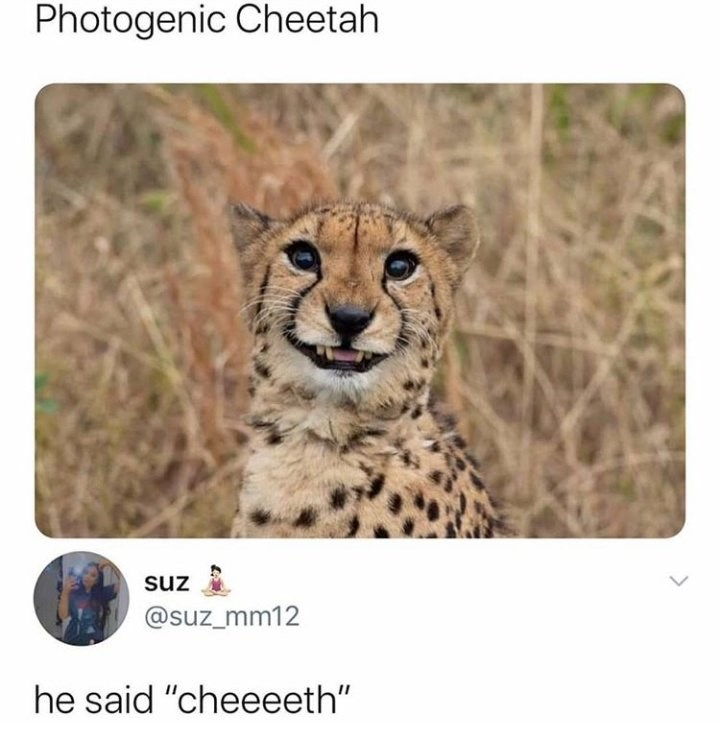 "Photogenic Cheetah @suz_mm12 he said ""cheeeeth"" cute wild cat smiling cheese pun"