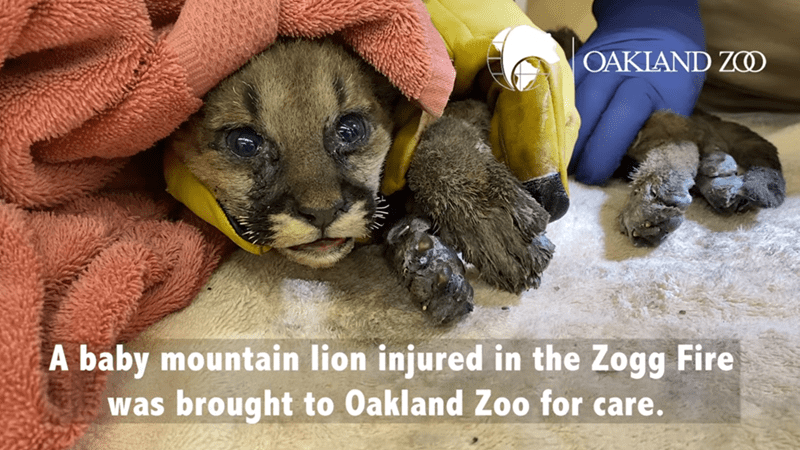 Snout - OAKIAND ZO A baby mountain lion injured in the Zogg Fire was brought to Oakland Zoo for care.