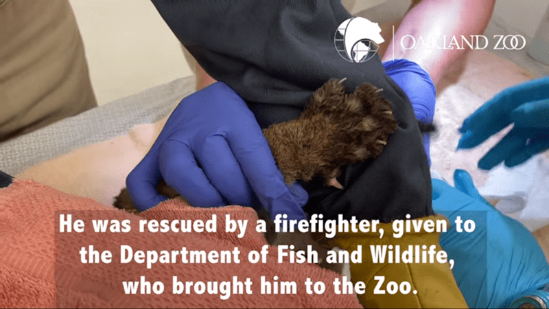 Photo caption - OAIAND ZCO He was rescued by a firefighter, given to the Department of Fish and Wildlife, who brought him to the Zoo.