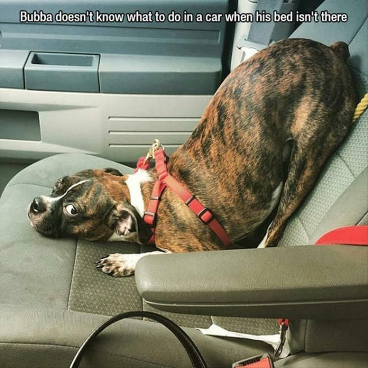 Dog - Bubba doesn't know what to do ina car when his bed isn't there