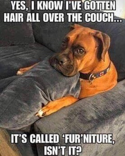 Dog - YES, I KNOW I'VE GOTTEN HAIR ALL OVER THE COUCH... IT'S CALLED FUR'NITURE, ISN'T IT?