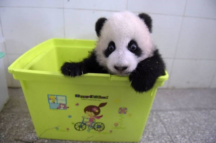 Panda - po oedh