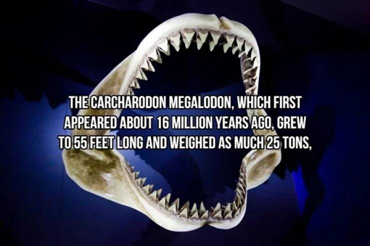 Jaw - THE CARCHARODON MEGALODON, WHICH FIRST APPEARED ABOUT 16 MILLION YEARS AGO, GREW TO 55 FEET LONG AND WEIGHED AS MUCH 25 TONS,