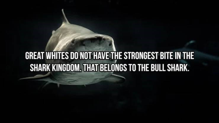 Fish - GREAT WHITES DO NOT HAVE THE STRONGEST BITE IN THE SHARK KINGDOM. THAT BELONGS TO THE BULL SHARK.