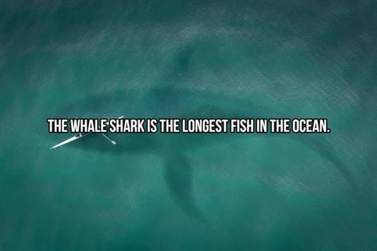 Green - THE WHALE SHARK IS THE LONGEST FISH IN THE OCEAN.