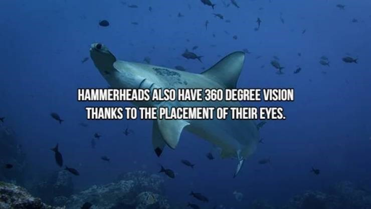 Fish - HAMMERHEADS ALSO HAVE 360 DEGREE VISION THANKS TO THE PLACEMENT OF THEIR EYES.