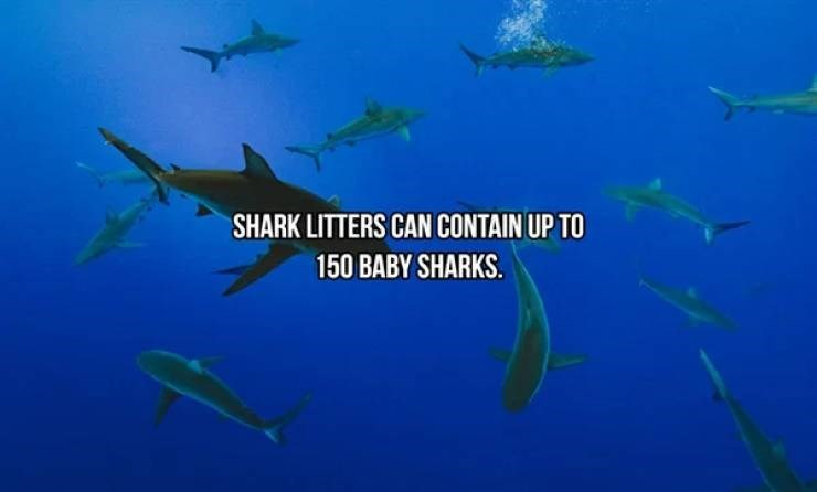 Fish - SHARK LITTERS CAN CONTAIN UP TO 150 BABY SHARKS.