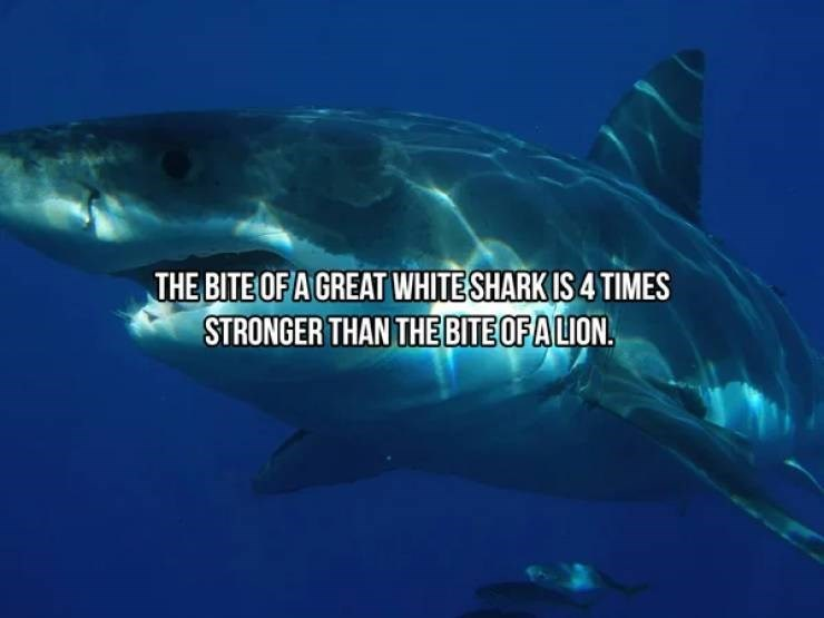 Fish - THE BITE OF A GREAT WHITE SHARK IS 4 TIMES STRONGER THAN THE BITE OF A LION.