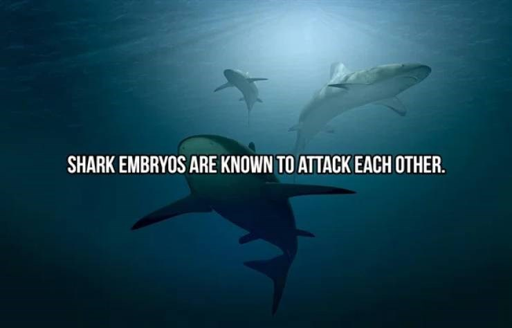 Shark - SHARK EMBRYOS ARE KNOWN TO ATTACK EACH OTHER.