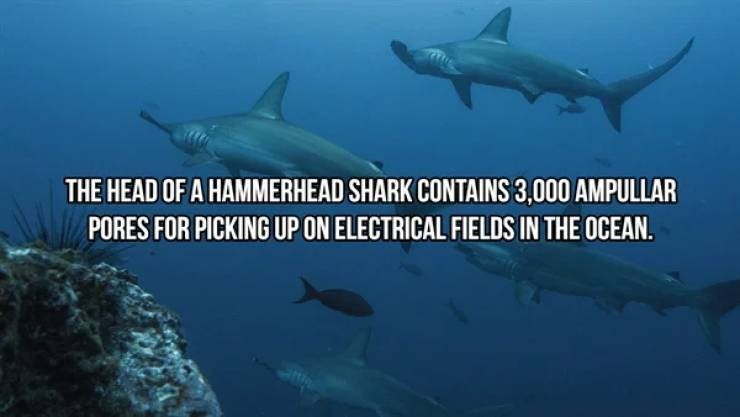Fish - THE HEAD OF A HAMMERHEAD SHARK CONTAINS 3,000 AMPULLAR PORES FOR PICKING UP ON ELECTRICAL FIELDS IN THE OCEAN.