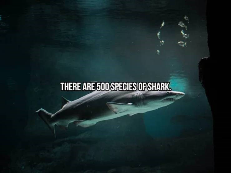 Fish - THERE ARE 500 SPECIES OF SHARK.