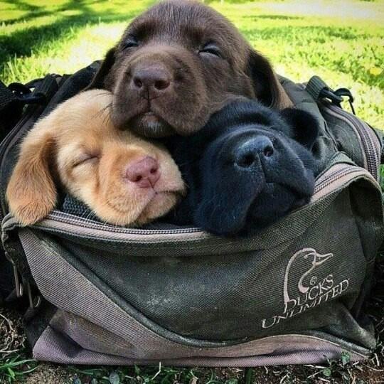 Dog - DUCKS UNLMITED