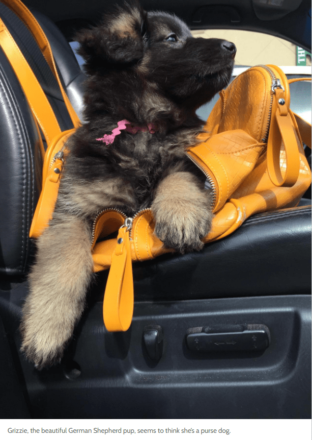 Dog - Grizzie, the beautiful German Shepherd pup, seems to think she's a purse dog.
