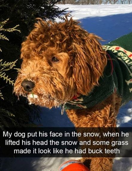 Dog - My dog put his face in the snow, when he lifted his head the snow and some grass made it look like he had buck teeth