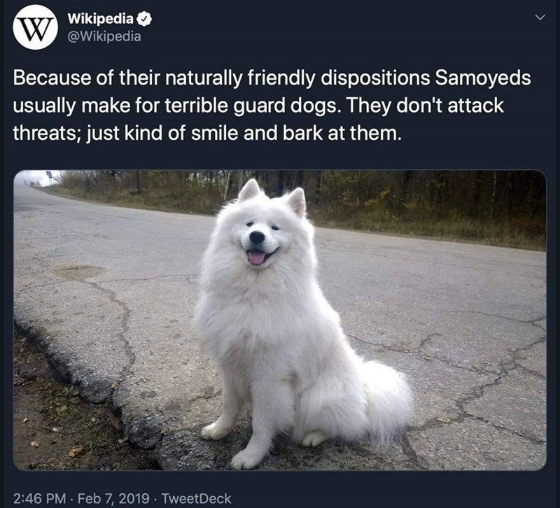 Mammal - W Wikipedia W @Wikipedia Because of their naturally friendly dispositions Samoyeds usually make for terrible guard dogs. They don't attack threats; just kind of smile and bark at them. 2:46 PM · Feb 7, 2019 · TweetDeck
