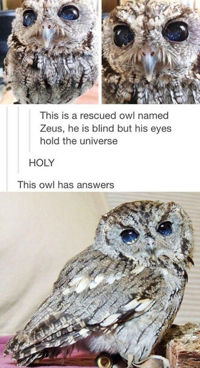 Owl - This is a rescued owl named Zeus, he is blind but his eyes hold the universe HOLY This owl has answers