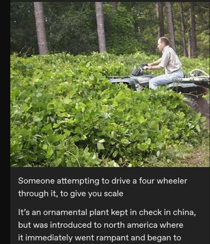 Vegetation - WINEY Someone attempting to drive a four wheeler through it, to give you scale It's an ornamental plant kept in check in china, but was introduced to north america where it immediately went rampant and began to