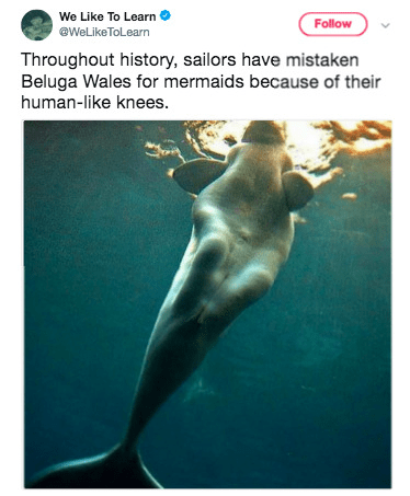 Marine mammal - We Like To Learn @WeLikeToLearn Follow Throughout history, sailors have mistaken Beluga Wales for mermaids because of their human-like knees.