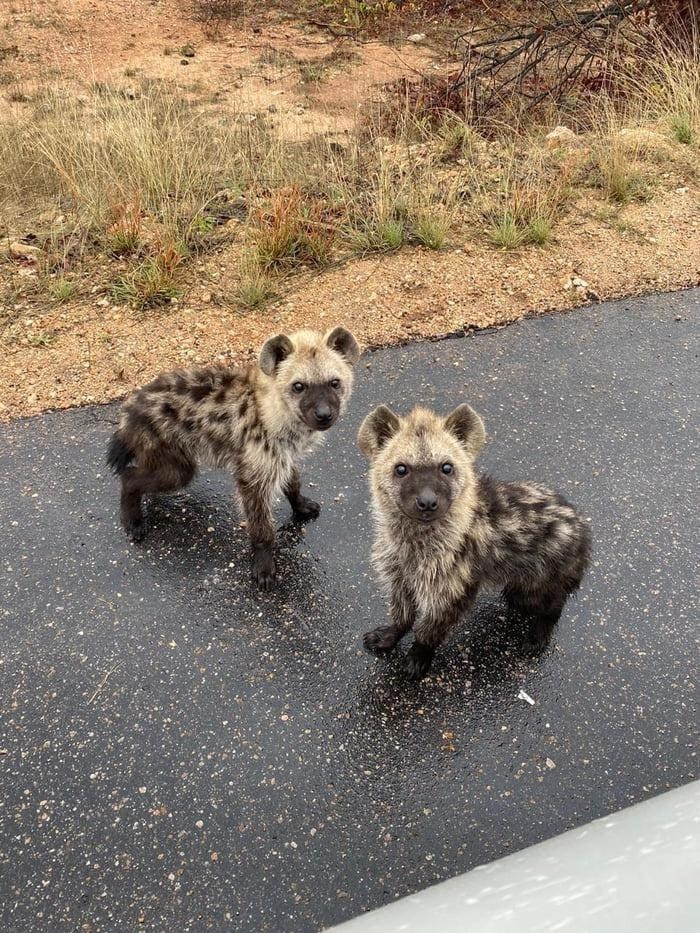 cute pic of two baby hyena cubs adorable wildlife nature