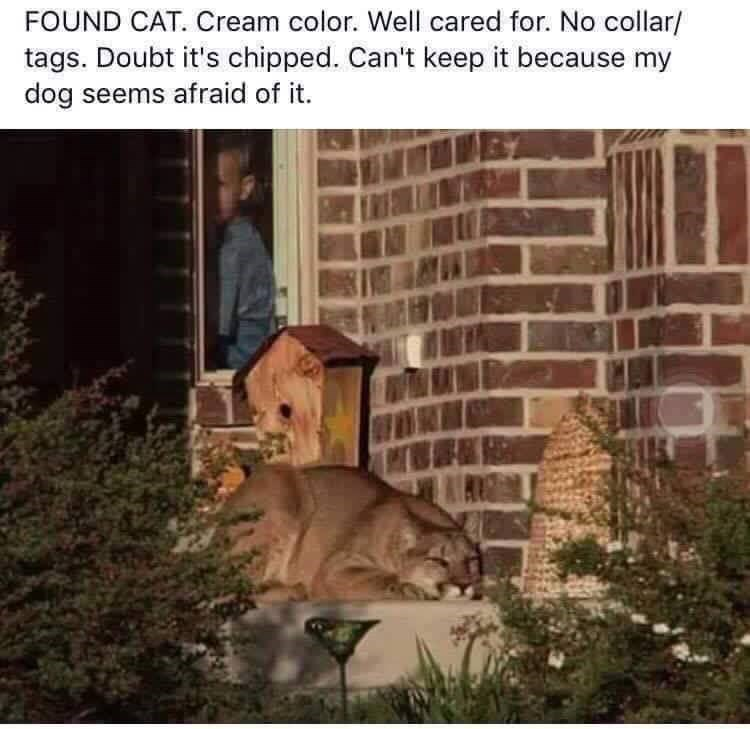FOUND CAT. Cream color. Well cared for. No collar/ tags. Doubt it's chipped. Can't keep it because my dog seems afraid of it. bobcat wildcat