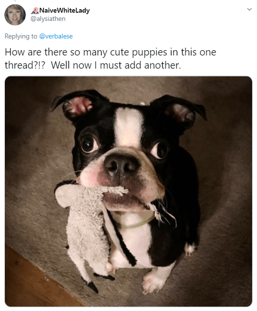 Boston terrier - ANaiveWhitelady @alysiathen Replying to @verbalese How are there so many cute puppies in this one thread?!? Well now I must add another.