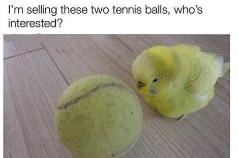 Parakeet - I'm selling these two tennis balls, who's interested?