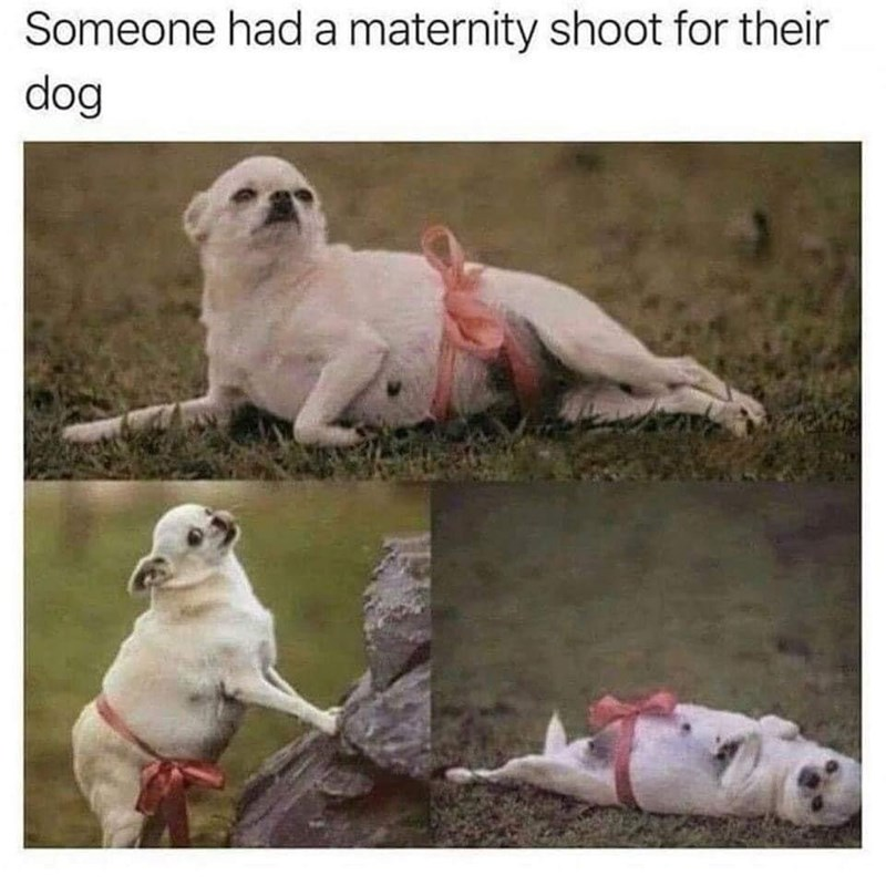 Vertebrate - Someone had a maternity shoot for their dog