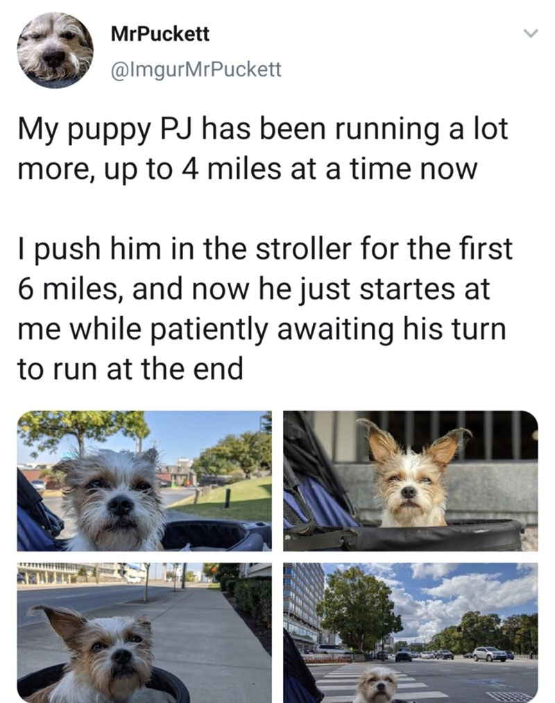 Canidae - MrPuckett @ImgurMrPuckett My puppy PJ has been running a lot more, up to 4 miles at a time now I push him in the stroller for the first 6 miles, and now he just startes at me while patiently awaiting his turn to run at the end