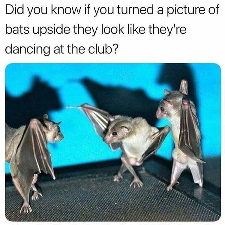 Adaptation - Did you know if you turned a picture of bats upside they look like they're dancing at the club?