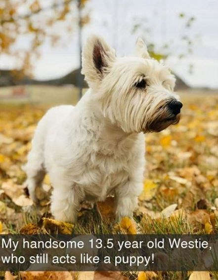 Dog - My handsome 13.5 year old Westie, who still acts like a puppy!