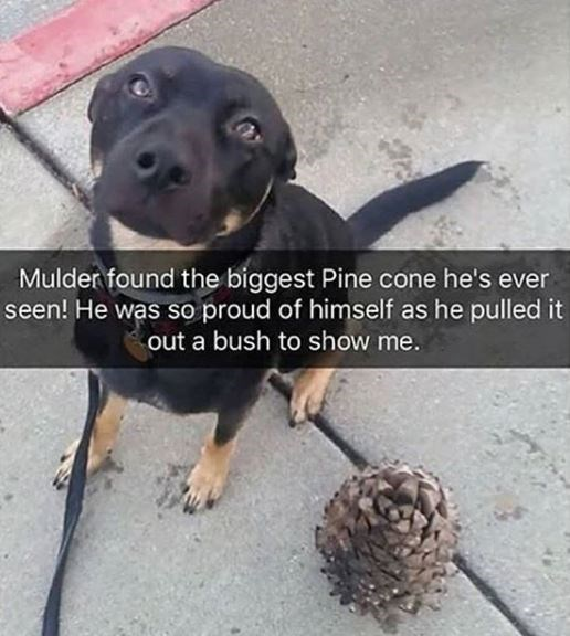 Dog breed - Mulder found the biggest Pine cone he's ever seen! He was so proud of himself as he pulled it out a bush to show me.