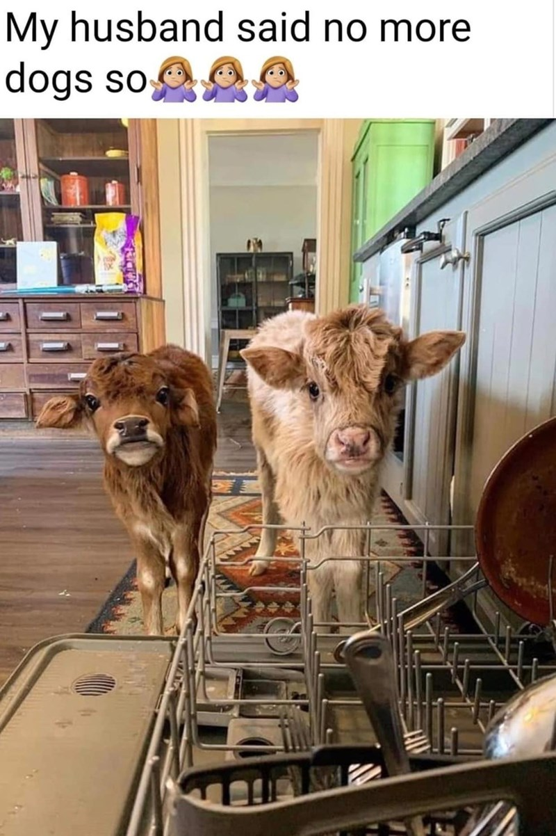 My husband said no more dogs so two baby cows calves indoors inside a house by a washing machine