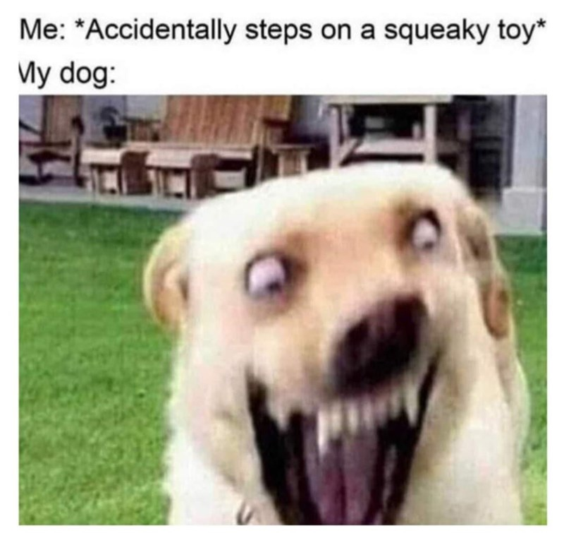 Dog - Me: *Accidentally steps on a squeaky toy* My dog: