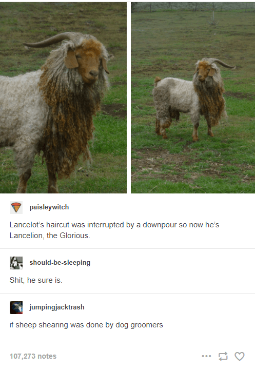 Vertebrate - paisleywitch Lancelot's haircut was interrupted by a downpour so now he's Lancelion, the Glorious. should-be-sleeping Shit, he sure is. jumpingjacktrash if sheep shearing was done by dog groomers 107,273 notes