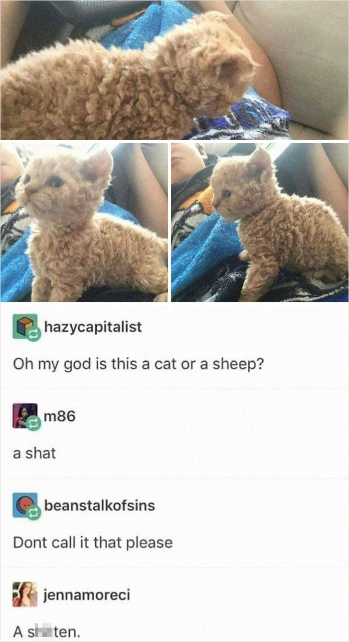 Canidae - hazycapitalist Oh my god is this a cat or a sheep? m86 a shat beanstalkofsins Dont call it that please jennamoreci A s ten.