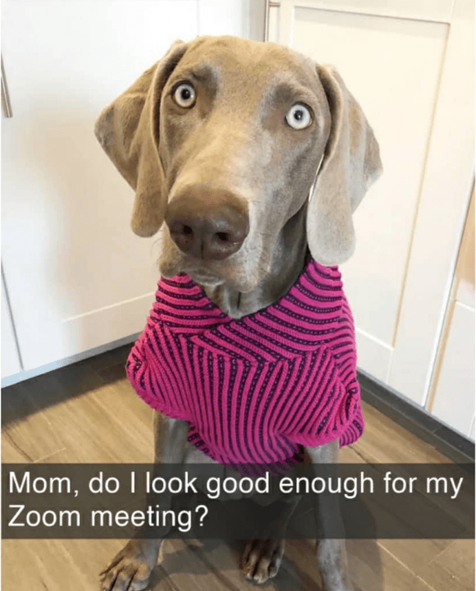 Weimaraner - Mom, do I look good enough for my Zoom meeting?